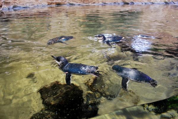 Pinguins no Aquário de Sidney