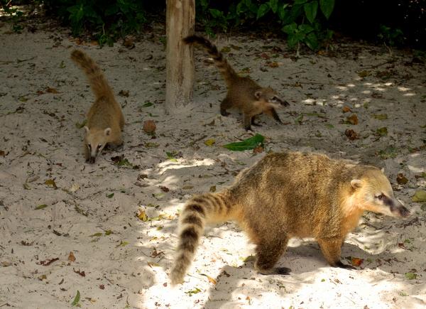 Os quatis da Ilha do Campeche