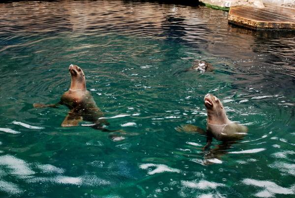 Aquário de Vancouver | Lontras