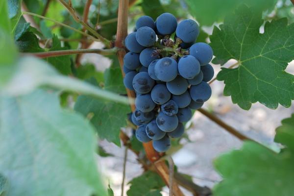 Parreira de uva na Cousino Macul